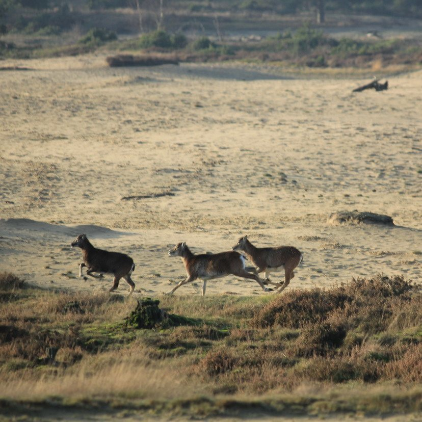 Mouflons op het Wekeromse Zand